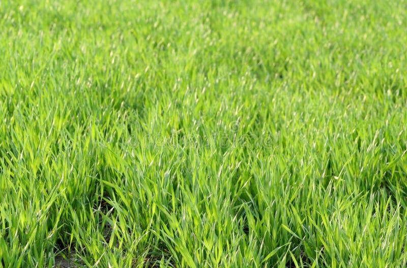 Frühlingsfeld mit Weizen lizenzfreie stockfotografie
