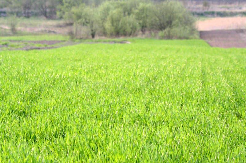 Frühlingsfeld mit Weizen stockfotografie