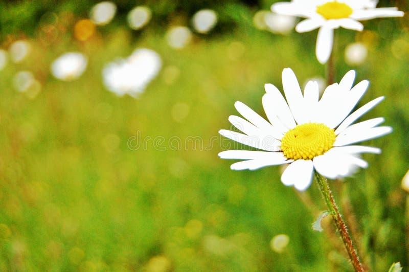 Frühlingsgänseblümchen lizenzfreies stockfoto