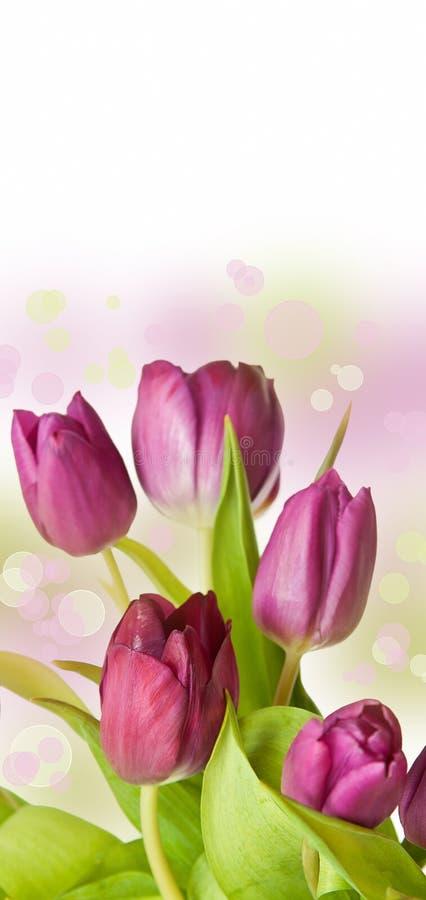 Frühlingsgefühl mit rosafarbener Tulpe lizenzfreie stockbilder
