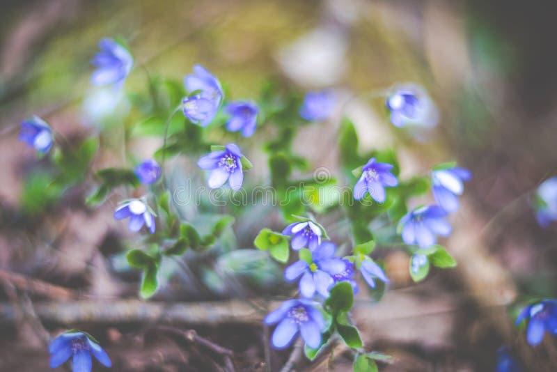 Frühlingsgeruchveilchen in der Blüte lizenzfreies stockfoto