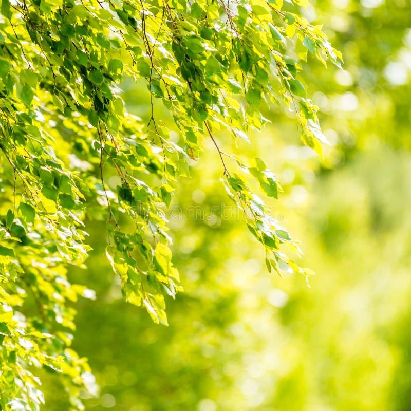 Frühlingsgrünblätter des Suppengrüns lizenzfreie stockfotos