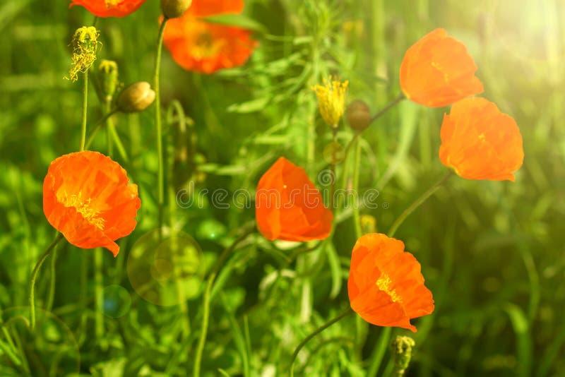 Frühlingshintergrund von den schönen Blumen, die im Garten blühen Weicher Fokus stockfotografie