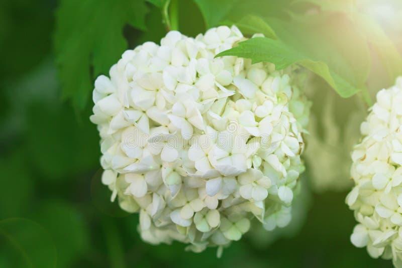 Frühlingshintergrund von den schönen Blumen, die im Garten blühen Weicher Fokus stockfotos