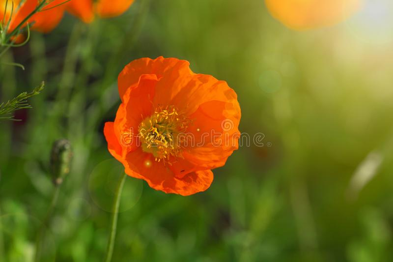 Frühlingshintergrund von den schönen Blumen, die im Garten blühen Weicher Fokus stockfoto
