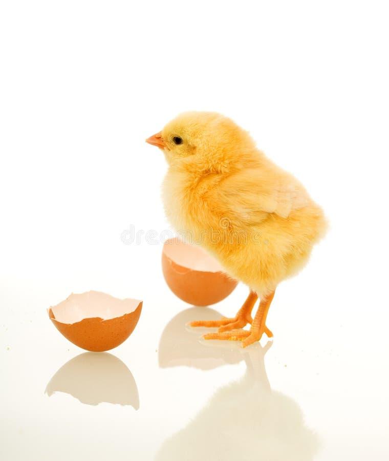 Frühlingshuhn mit Eierschale lizenzfreies stockfoto