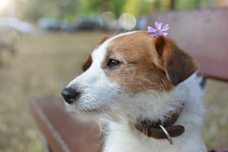 Frühlingshund PORTRÄT EINES NETTEN JACK RUSSELL-WELPEN, DER AUF EINER HOLZBANK AUF EINEM PARK MIT EINER VIOLETTEN ODER PURPURROTE stockbild