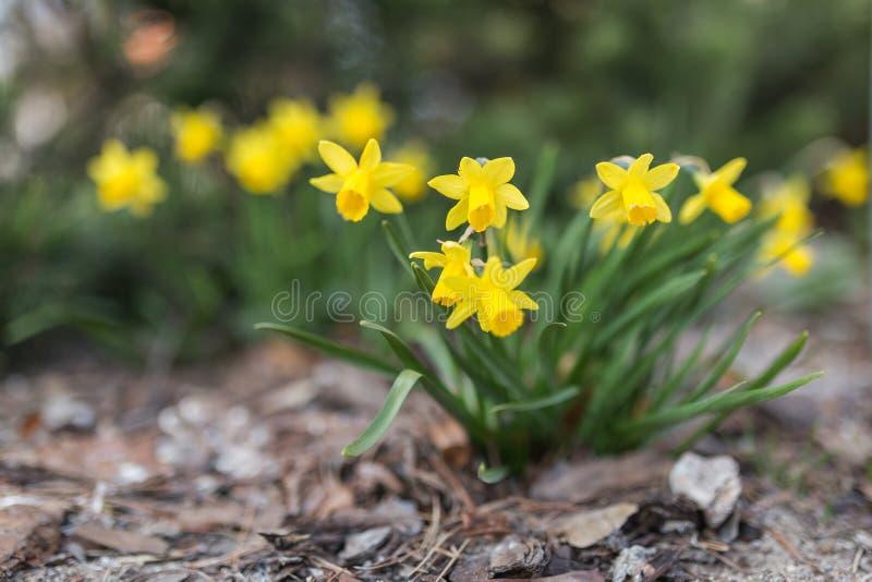 Frühlingsjonquille lizenzfreie stockfotografie