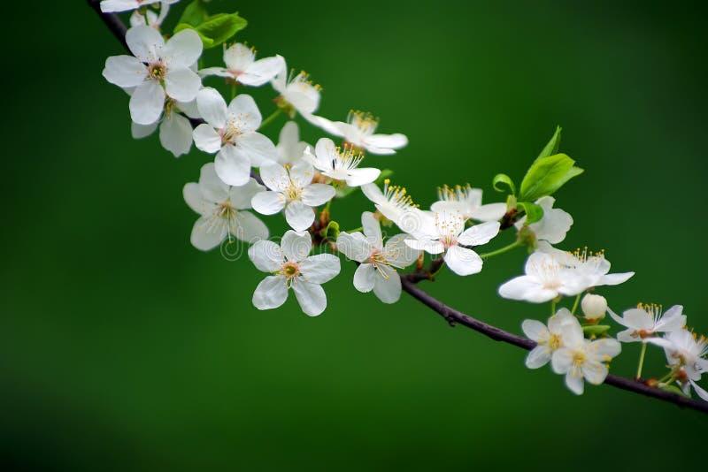 Frühlingskirschblüte-Niederlassung lizenzfreies stockbild