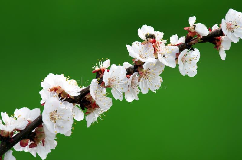 Frühlingskirschblüte-Niederlassung stockbilder