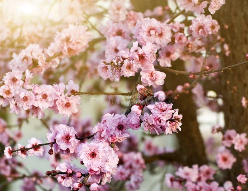 Frühlingskirschblüten lizenzfreies stockbild
