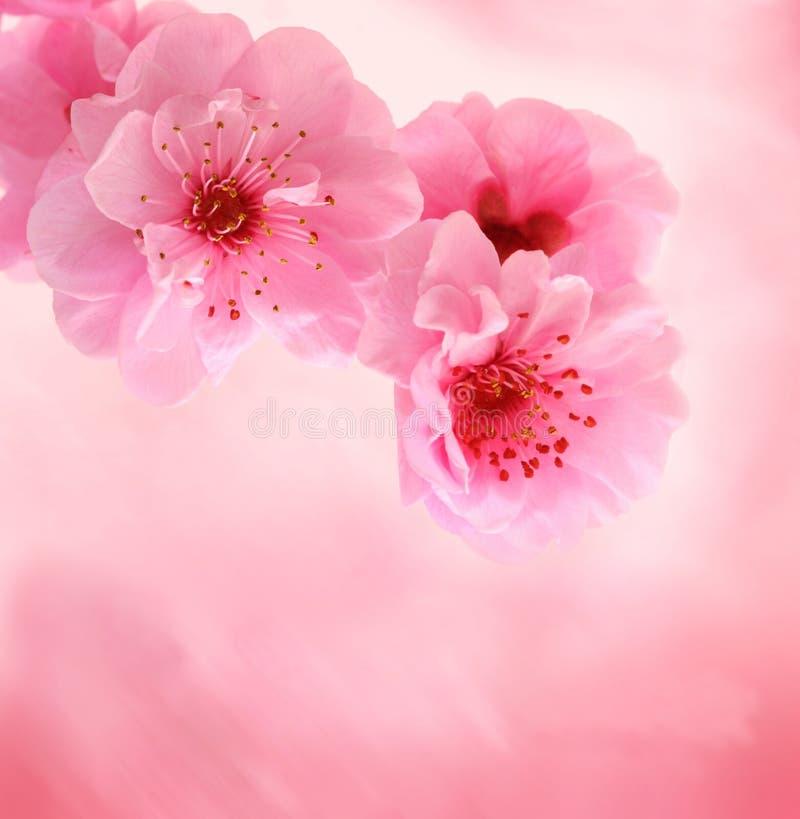 Frühlingskirschblüten auf rosafarbenem Hintergrund stockbild