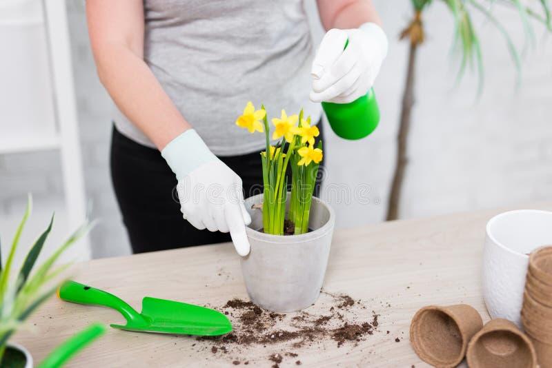 Frühlingskonzept - Abschluss oben von den weiblichen Händen, die Blumen im Topf mit Sprühflasche wässern lizenzfreies stockfoto