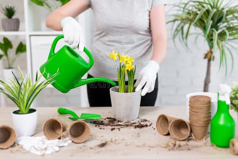Frühlingskonzept - Abschluss oben von den weiblichen Händen, die zu Hause Blumen im Topf wässern stockbilder