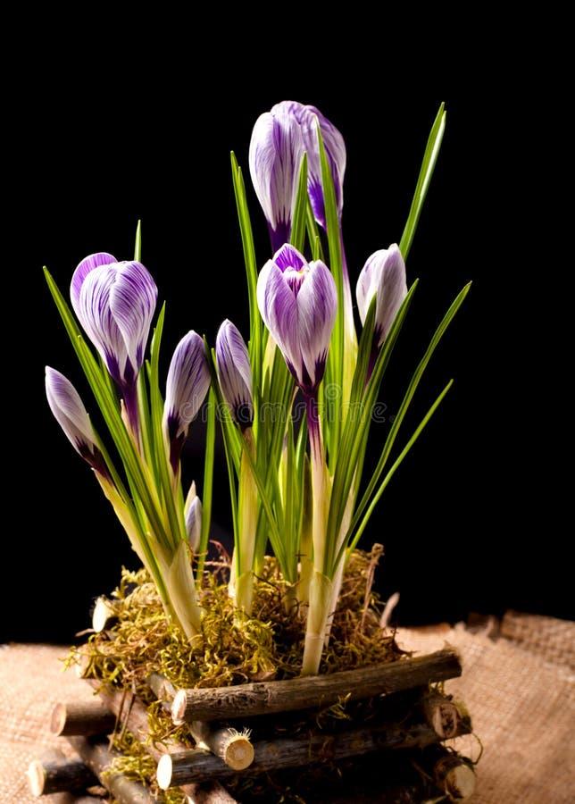 Frühlingskrokusblumen auf schwarzem Hintergrund stockfotografie