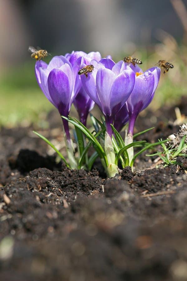 Frühlingskrokusse mit Bienen. stockbild