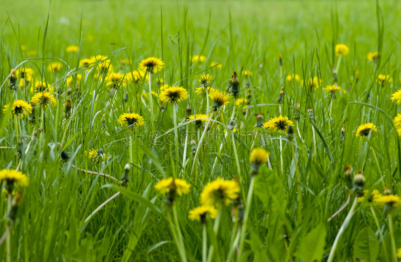 Frühlingslöwenzahnblumen lizenzfreie stockfotos