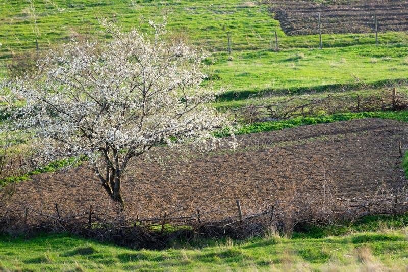 Frühlingslandschaft mit Blütenbaum stockbilder