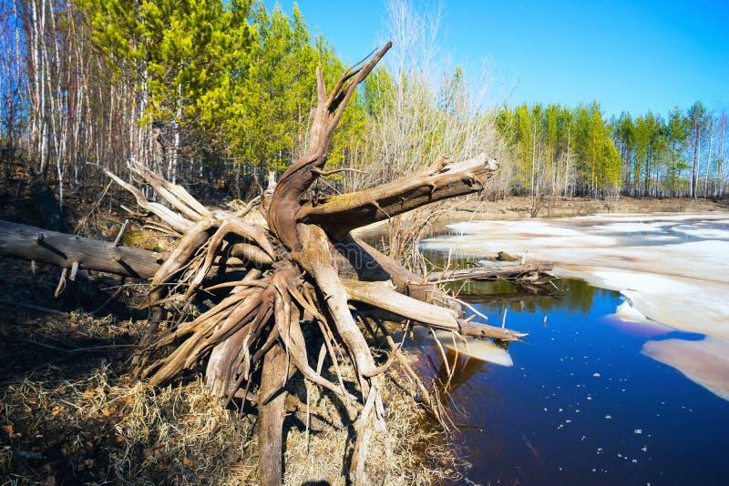 Frühlingslandschaft, Treibholz auf dem Ufer von Waldsee lizenzfreie stockfotos