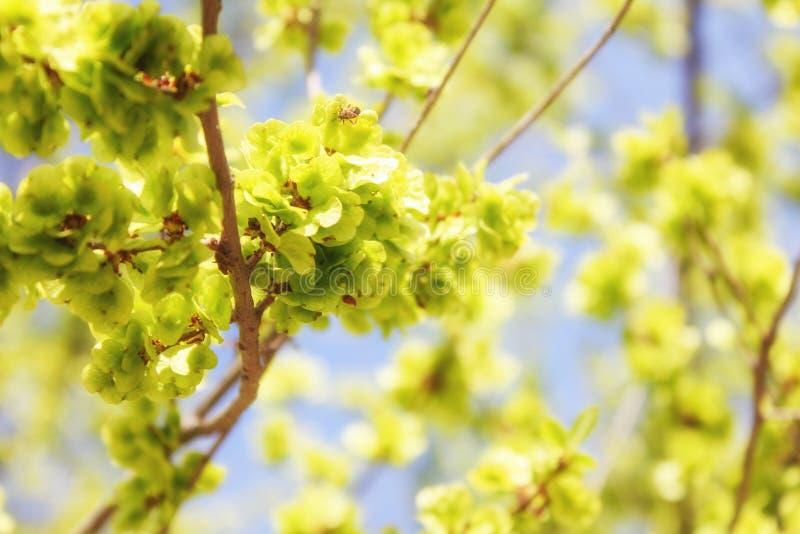 Frühlingslandschaftsblühende Knospen auf Baumasten lizenzfreies stockbild