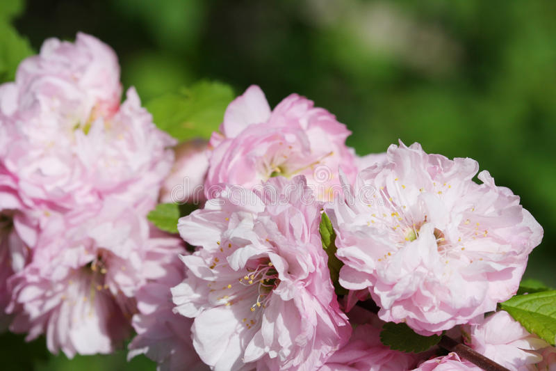 Frühlingsmandelblüten lizenzfreie stockfotografie