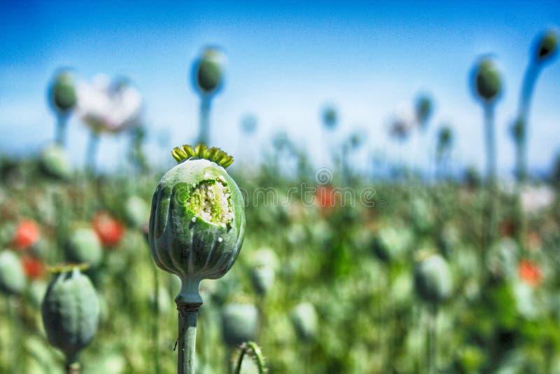 Frühlingsmohnblumenfeld stockbild