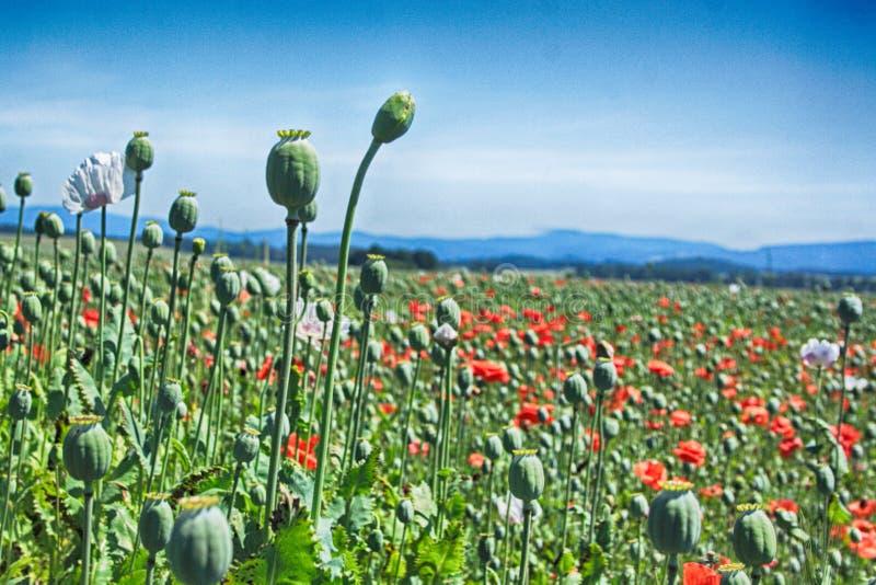 Frühlingsmohnblumenfeld lizenzfreies stockbild