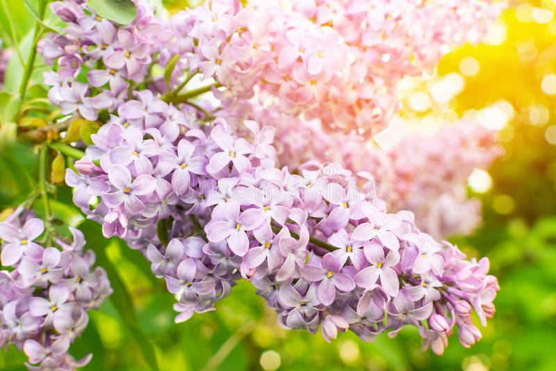 Frühlingsniederlassung der Flieder in der Blüte mit violetten Blumen auf grünen Blättern im Garten am sonnigen Tag, Hintergrund lizenzfreies stockfoto