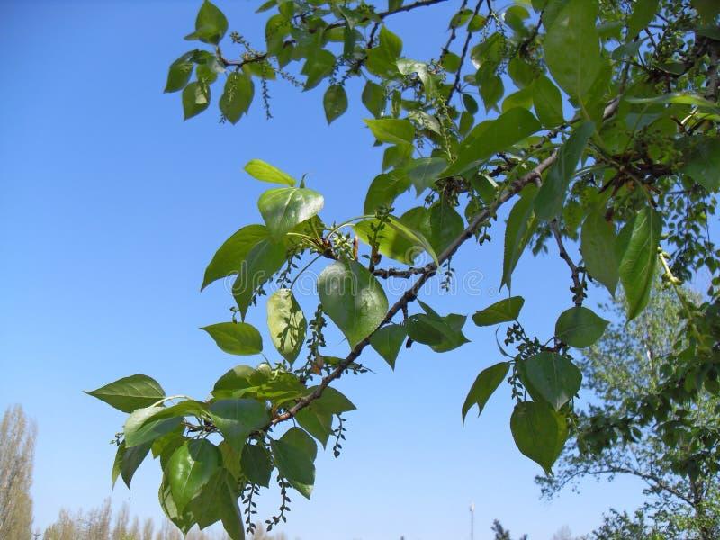 Frühlingspappelniederlassung mit Weidenkätzchen lizenzfreies stockbild