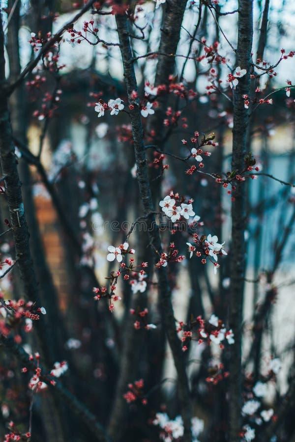 Frühlingspflaumeblüte breitet sich rosafarbene Blume aus stockbilder