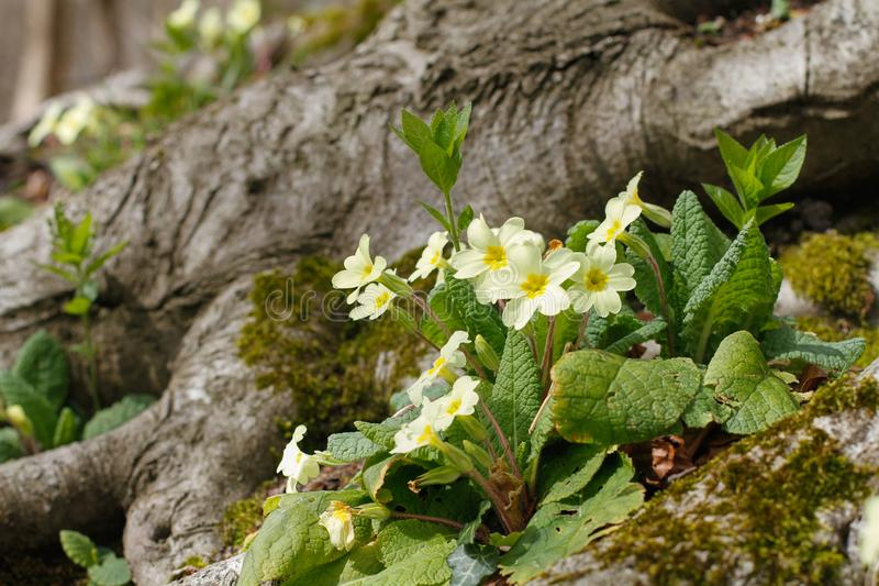 Frühlingsprimel im Wald stockfoto