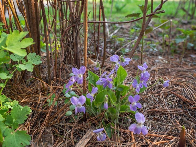 Frühlingsprimeln wachsen in der Waldlichtung, empfindliche kleine Veilchen lizenzfreies stockfoto