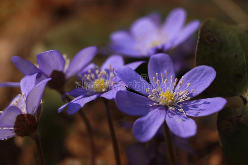 Frühlingspurpurblumen lizenzfreie stockfotos