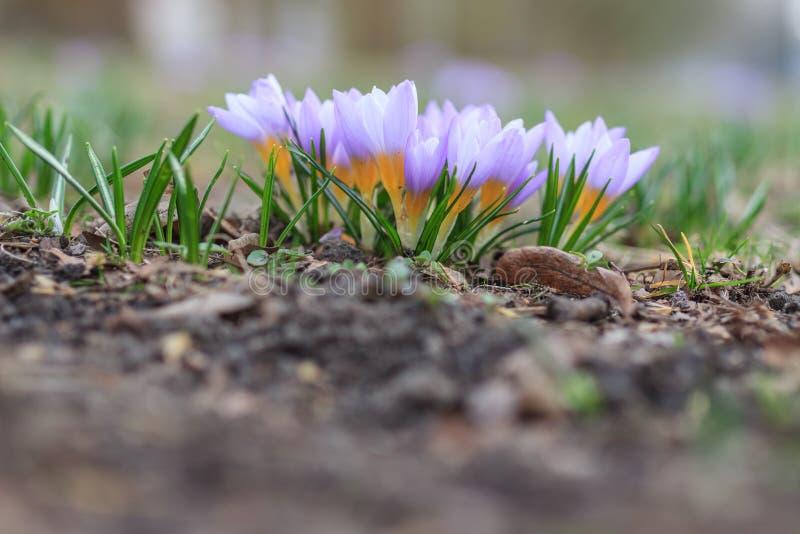 Frühlingspurpurkrokus stockbild