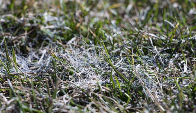 Frühlingsrasengras beeinflußt durch graues Schneeform Typhula SP im April-Garten lizenzfreies stockfoto