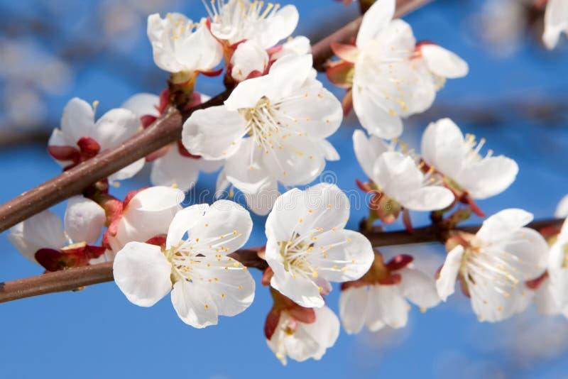Download Frühlingsschönheit stockfoto. Bild von nave, blüte, nahaufnahme - 12202524