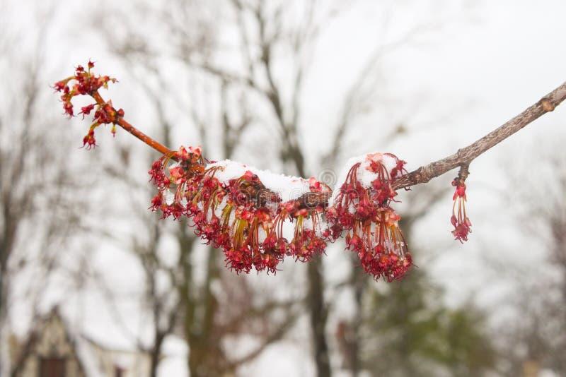 Frühlingsschnee auf blühendem Baumast mit bloßen Bäumen im Hintergrund stockfoto