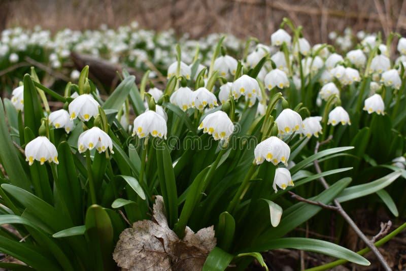 Frühlingsschneeflockenblumen lizenzfreie stockfotos