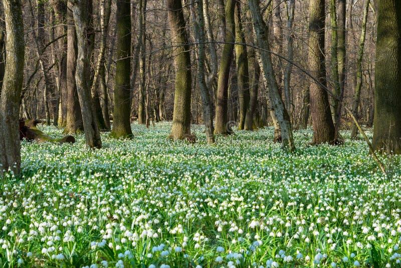 Frühlingsschneeflockenfeld lizenzfreies stockfoto