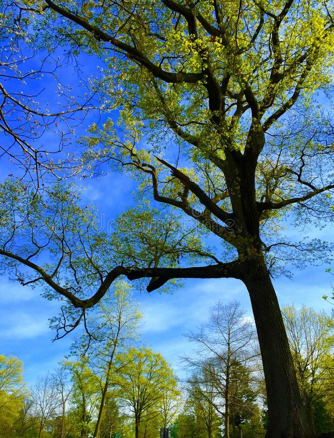 Frühlingssonnenlicht auf den majestätischen Bäumen stockfotografie