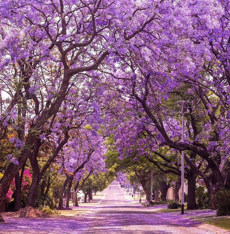 Frühlingsstraße des schönen violetten vibrierenden Jacaranda in der Blüte stockfoto