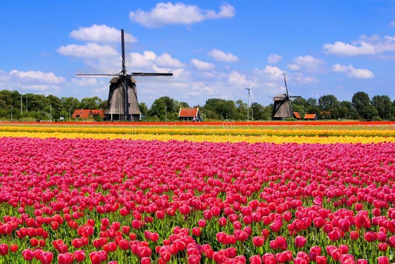 Frühlingstulpen und niederländische Windmühlen stockfotos