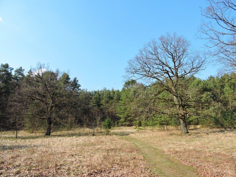 Frühlingswald, Litauen stockbilder