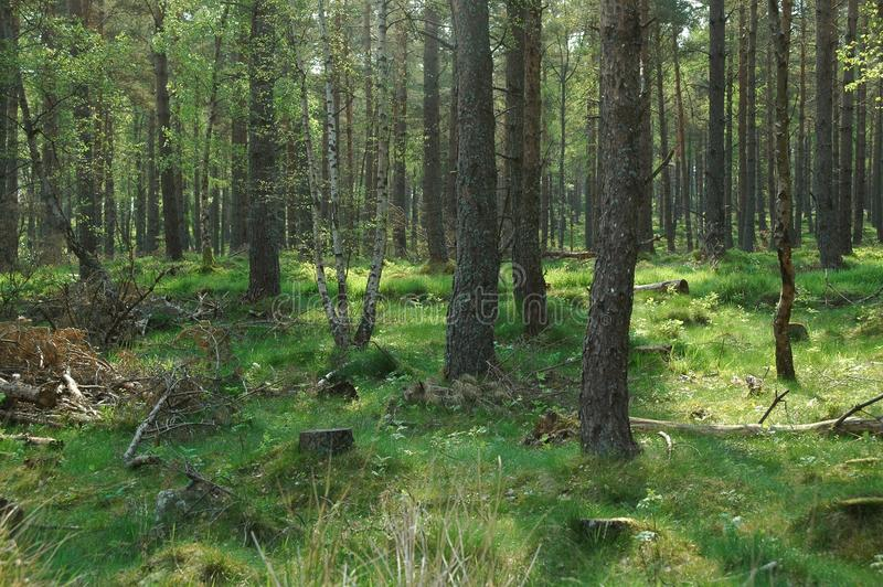 Frühlingswald in Schottland lizenzfreie stockfotografie