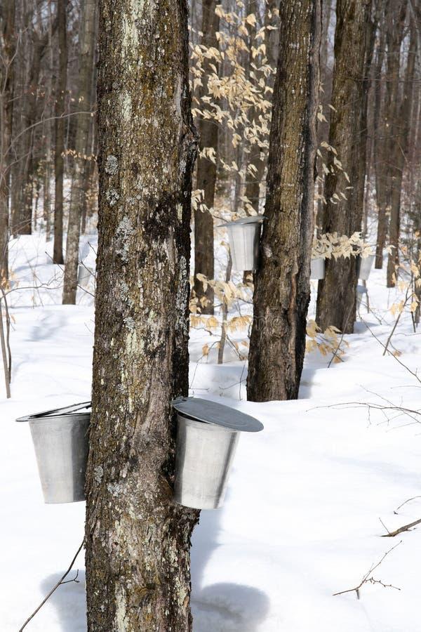 Frühlingswald während der Ahornholzsirupjahreszeit lizenzfreies stockbild