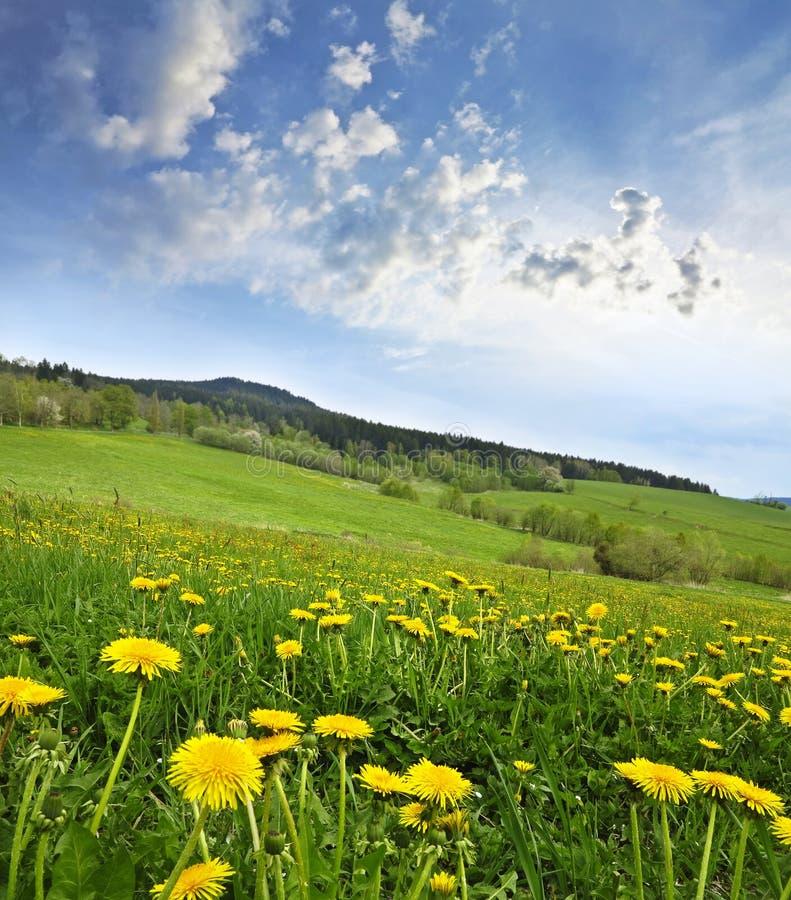 Frühlingswiese mit Löwenzahn stockfotografie