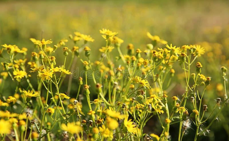 Frühlingswiese mit wilden gelben Blumen lizenzfreie stockbilder
