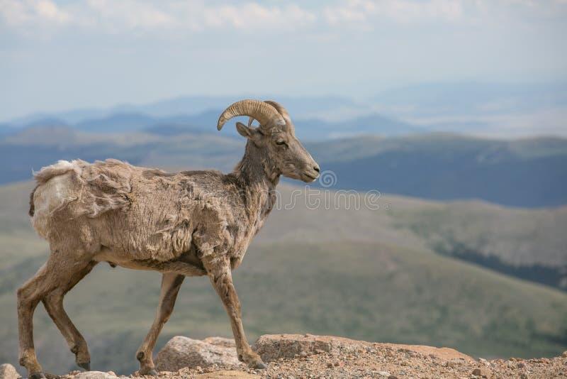 Frühlingszeit Bighorn-Schafe stockfotografie