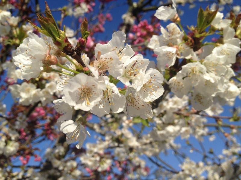 Frühlingszeit der Blütenblüte im April stockbilder