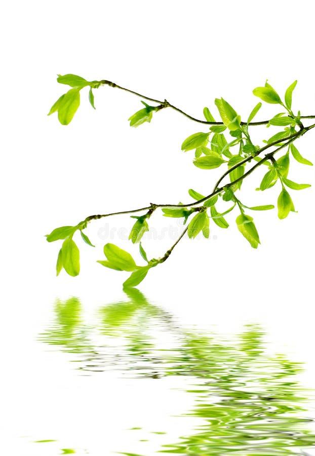 Frühlingszweig lizenzfreies stockfoto